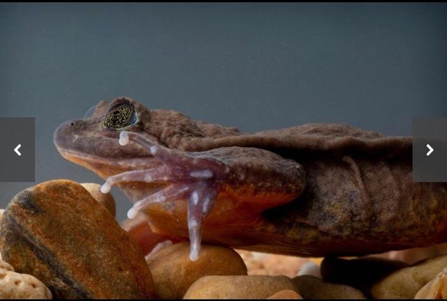 カエルのロミオ